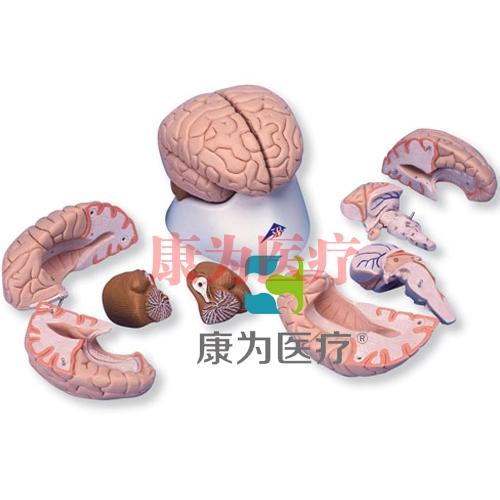豪华型脑模型,8部分