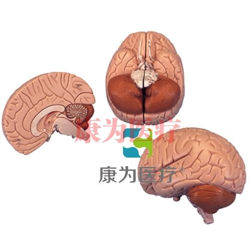 介绍性脑模型,2部分